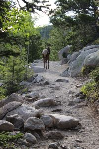 An Elk in the Trail