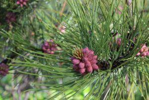 10_pineberriesp