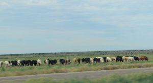 5_cows