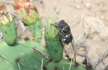 6_cicada